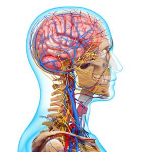 Kiefergelenk - Nerven und Gefässe